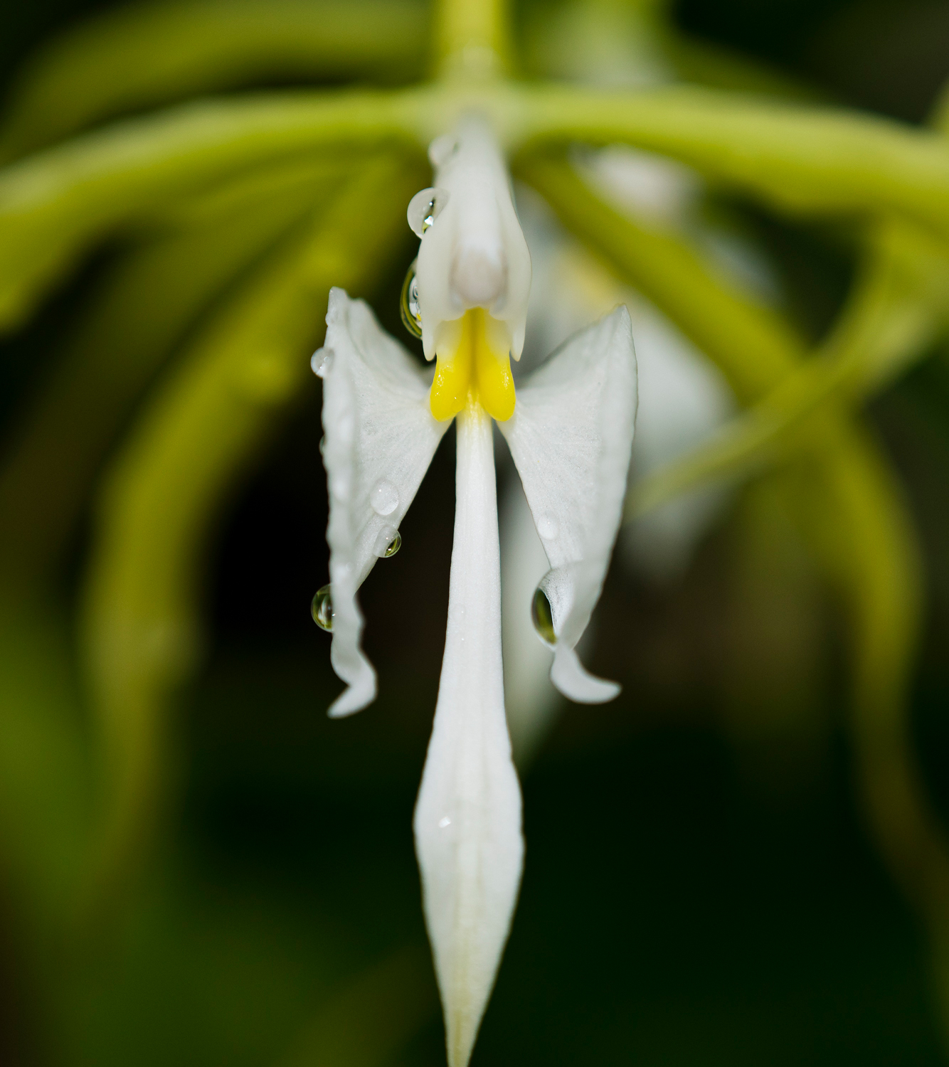 """""""Angel Orchid"""""""