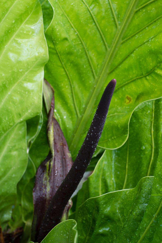 Anthurium sp.