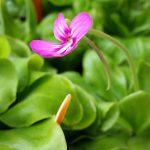 """Butterwort (Pinguicula """"Weser"""" cultivar)"""