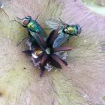 Blow flies on Stapelia hirsuta