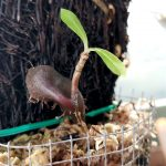 Myrmecodia tuberosa
