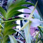 Darwin Orchid