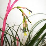 Queen's Tears [Billbergia nutans]