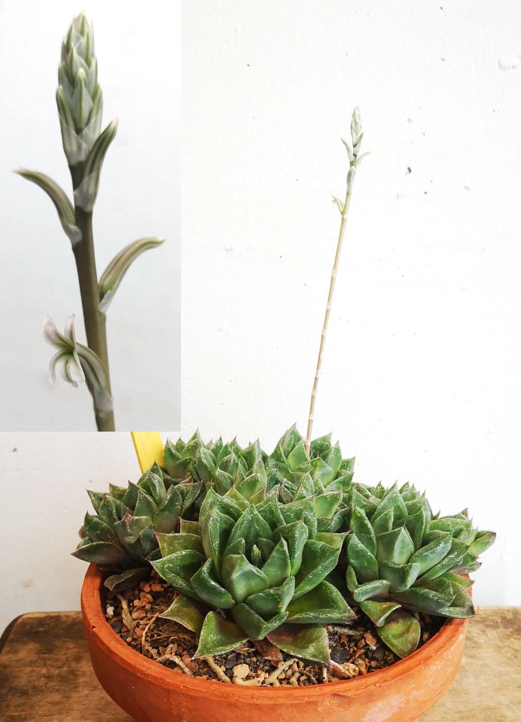 <i>Haworthia cuspidata</i>