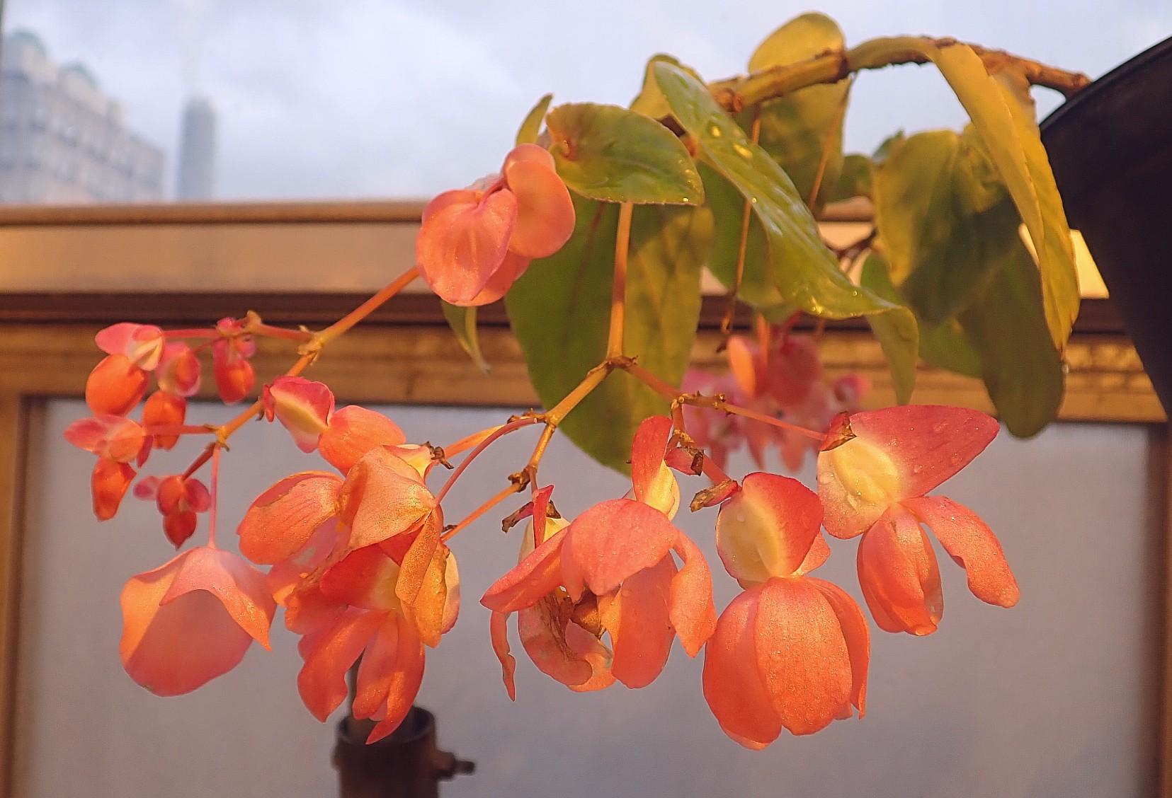 <i>Begonia speciosa<i/>