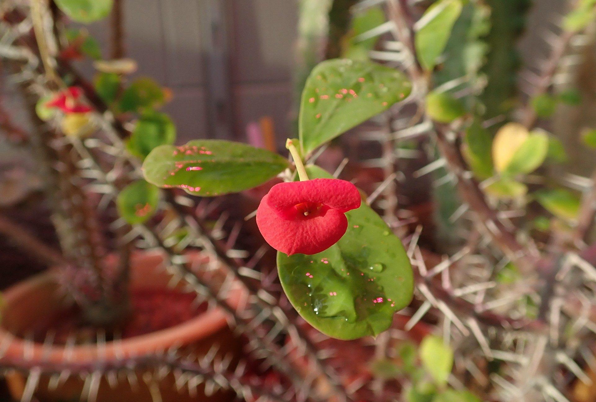 <i>Euphorbia milii<i/>