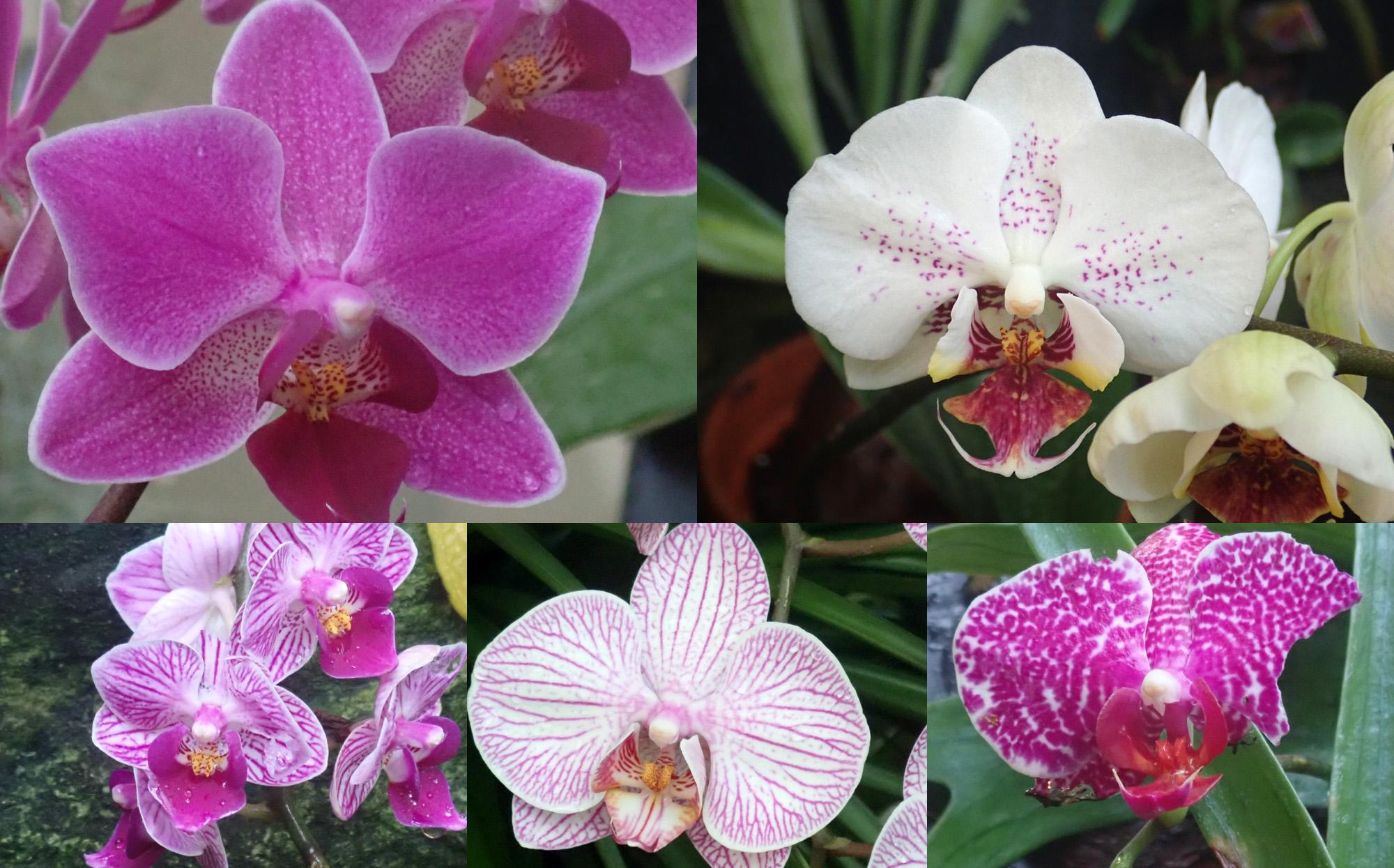 <i>Phalaenopsis sp.<i/>